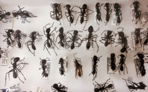 Ielts Reading-COLLECTING ANT SPECIMENS
