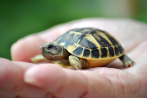Ielts Reading-HISTORY OF THE TORTOISE